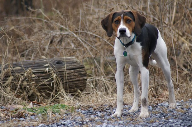 6866036-american-foxhound-wallpaper