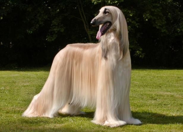 Afghan-Hound-Dog-Breed-Profile.jpg