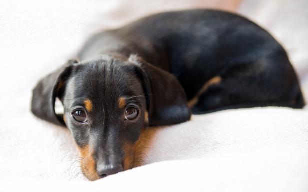 dachshund-dog-2560x1600-symbol-of-germany-black-hd-1708