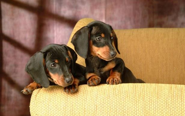 dog-dachshund-hd-wallpaper-0004