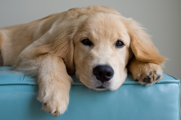 golden-retriever-dogs-puppies-6.jpg