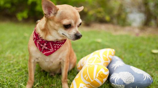 Image-of-Chihuahua