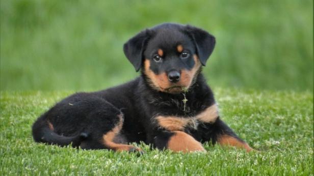 rottweiler_puppy_dog_lying_110534_1920x1080