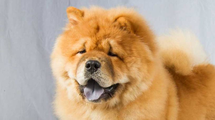 Chow chow theultimatedogs - Images of chow chow puppies ...